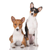 Two basenji dogs together on white Royalty Free Stock Images