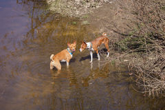 Two basenji dogs walk in the park. Spring. Sunny day Royalty Free Stock Images