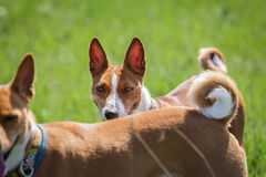 Two basenji dogs walk in the park. Spring. Sunny day. Green meadow Royalty Free Stock Photos