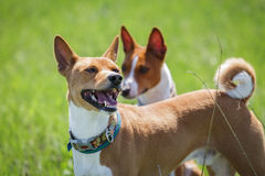 Two basenji dogs walk in the park. Spring. Sunny day. Green meadow Stock Images