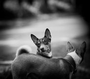 Two basenji in monochrome tones Royalty Free Stock Photography