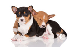 Two basenji puppies lying down Royalty Free Stock Photo