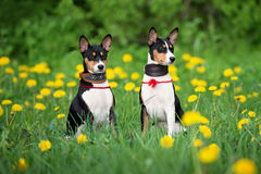 Two basenji puppies outdoors Stock Images
