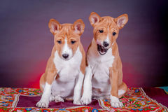 Two Basenji puppies on red Stock Photos
