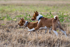 Two Basenjis dogs. Run together in field Stock Photography