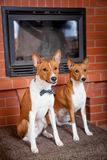 Two basenjis next to the fireplace. Two red basenjis are sitting next to the fireplace Stock Photos