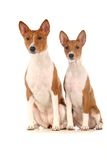 Two Basenjis on white background. Two Basenjis isolated on the white background Royalty Free Stock Photos