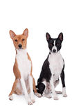 Two Basenjis on white. Two Basenjis isolated on the white background Stock Photos