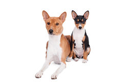 Two Basenjis (3 years and 3 month old) on white. Two Basenjis isolated on the white background Royalty Free Stock Photography