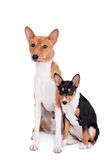 Two Basenjis (3 years and 3 month old) on white. Two Basenjis isolated on the white background Royalty Free Stock Photos