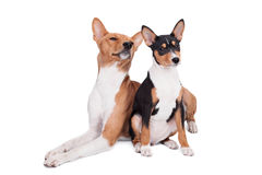 Two Basenjis (3 years and 3 month old) on white. Two Basenjis isolated on the white background Stock Photo