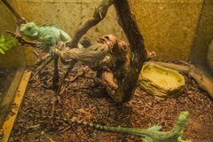 Two Basilisk in aquarium Stock Images