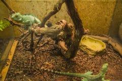 Two Basilisk in aquarium Stock Images