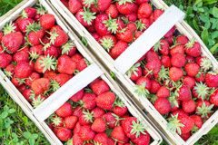 Two baskets filled with nice ripe strawberries. On grass Stock Photos