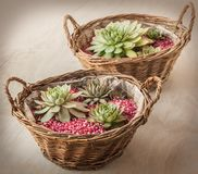 Two baskets with rosettes sempervivum stock photos