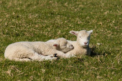 Two basking lambs. On grass Stock Photos