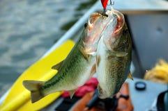 Two bass closeup Stock Image