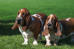 Two Basset dog on green grass royalty free stock photography