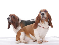 Two basset hound dogs. Together on a white background stock photos