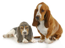 Two basset hounds Stock Image