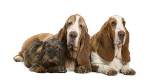Two Basset Hounds and a Dachshund lying Stock Photo