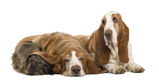 Two Basset Hounds and a Dachshund lying Stock Images