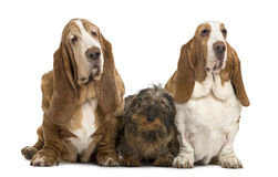 Two Basset Hounds and a Dachshund sitting Royalty Free Stock Photography