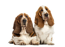 Two Basset Hounds Royalty Free Stock Photos