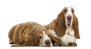 Two Basset Hounds lying Stock Image