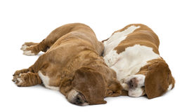 Two Basset Hounds lying and sleeping Stock Photos
