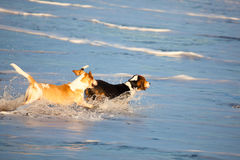 Two basset hounds by sea Royalty Free Stock Images