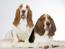 Two basset hounds side by side. Two basset hounds in a studio Royalty Free Stock Photography