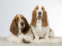 Two basset hounds side by side. Stock Photo
