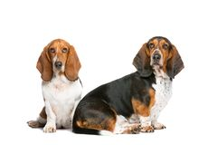 Two basset hounds royalty free stock photo