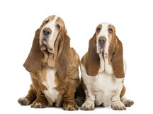 Two Basset Hounds sitting Royalty Free Stock Images