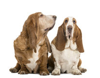 Two Basset Hounds sitting, looking at the camera Royalty Free Stock Images