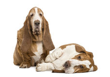 Two Basset Hounds sitting and lying Stock Images