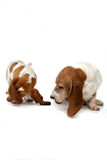 Two basset hounds sniffing stock image