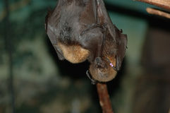 Two Bats Stock Images