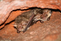 Two bats Stock Photography