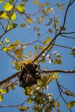 Two Bats hanging together in a gum tree at Katherine Gorge, Australia Royalty Free Stock Images