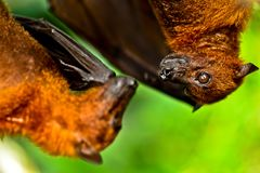 Two Bats Hanging Royalty Free Stock Photography