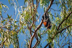 Two bats wrapped together in a gum tree in Australia Royalty Free Stock Image