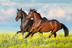 Two bay horse run. Gallop on flowers field with blue sky behind stock photo