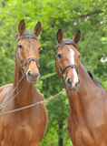 Two bay horses Stock Photography