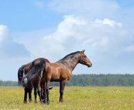 Two bay horses. In field Stock Photos