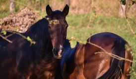 Two bay horses with black manes and tails on a green pasture among the trees royalty free stock photography