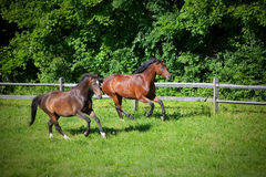 Two bay Horses cantering on hill Stock Images