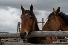 Two bay horses Royalty Free Stock Images