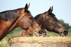 Two bay horses eating hay at the pasture Stock Photography